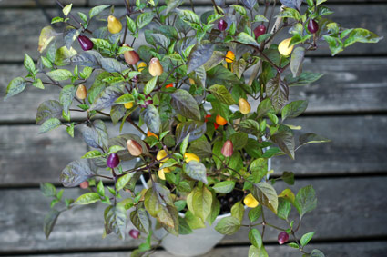 'Chinese Five Color' Hot Pepper