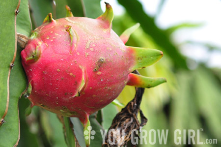 how to grow dragon fruit in california
