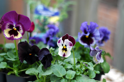 Not 99 Cents pansies