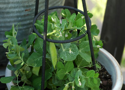 'Tom Thumb' Pea Plants