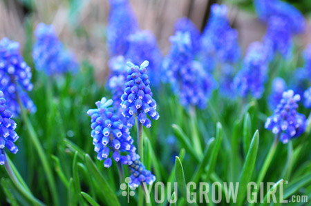 muscari_forced