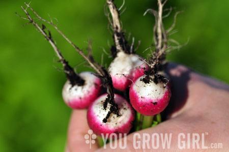 Rábanos 101 | Blog de Jardinería Orgánica