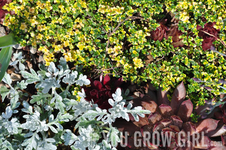 how to grow lemon thyme